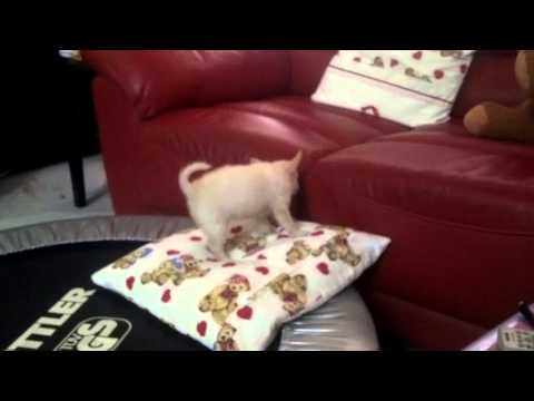 Little Toby Chihuahua puppy jumping up to a couch with a little help from a pillow