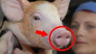 هل تعلم لماذا خلق الله الخنزير؟ و لماذا حرم أكله؟ سبحان الله