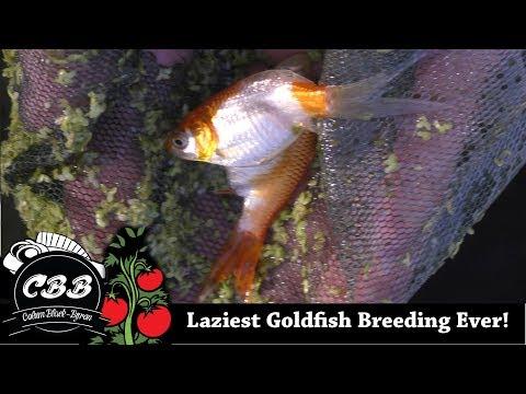 My Laziest Goldfish Breeding Attempt Ever!