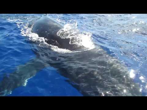 Baleines curieuses à MOOREA !