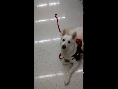Psychiatric Service Dog - public access sample