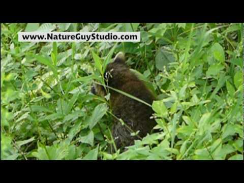 Baby Raccoon Sounds
