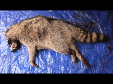 Picking up Roadkill - How to Know if it's a Keeper