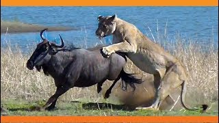 Lions Hunt Pregnant Wildebeest and Pull the Baby Out!