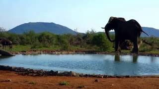 Bull Elephant enraged to find pack of Wild Dogs at the Bush House waterhole