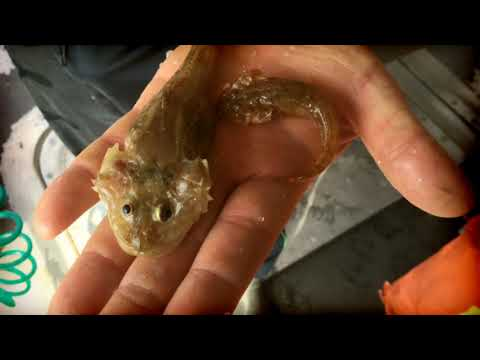 Bottom trawling on Lake Ontario for alewives, other baitfish