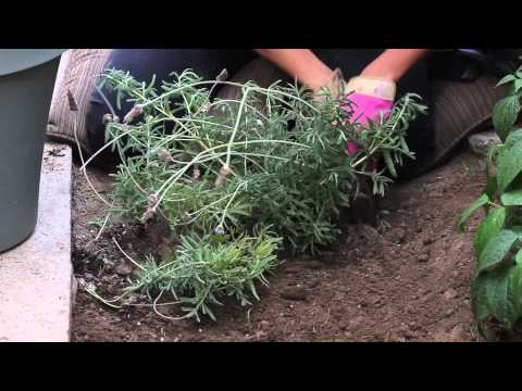 How to Dig Out a Lavender Bush : The Chef's Garden