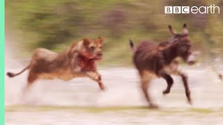 Young Lions Mercilessly Attack Donkey Herd   Natural World: Desert Lions   BBC Earth