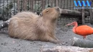 CAPYBARA being FRIENDS with other ANIMALS 😍😍