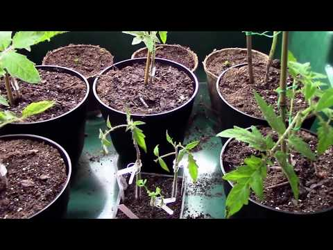 Cleft Grafting Tomatoes Onto Poor Man's Rootstock Experiment