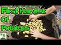 Harvesting Container Grown First Early Potatoes 2018