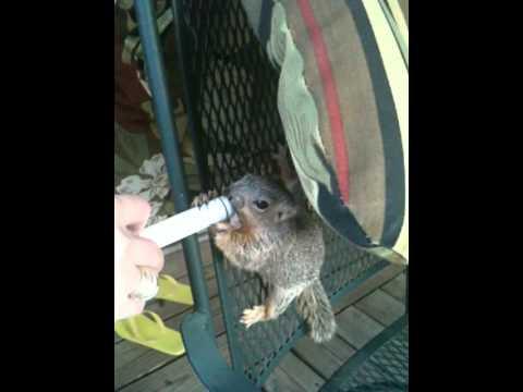 Baby squirrel - syringe feeding
