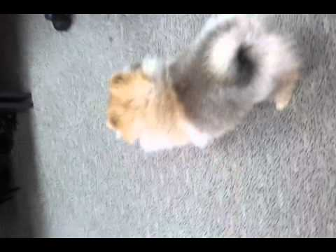 Pomeranian bites tail