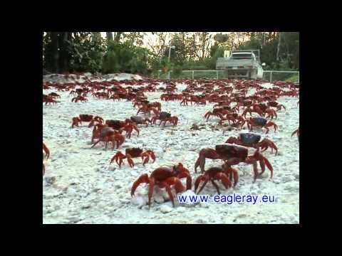 Australien Christmas Island Krabbenwanderung March of Red Crab