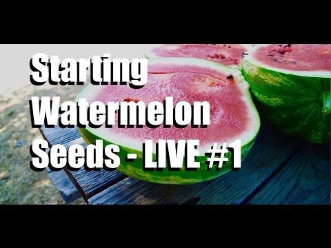 Starting Watermelon Seeds Livestream , #1 (replay)