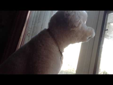 Barking at a Window!