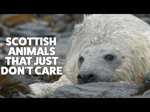 Scottish animals that just don't care | Highlands - Scotland's Wild Heart