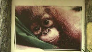 Roghi in Indonesia, corsa contro il tempo per salvare gli oranghi