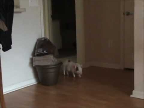 Bomber the Mini Pig goes crazy in da house!  (Prissy and Bomber Show)