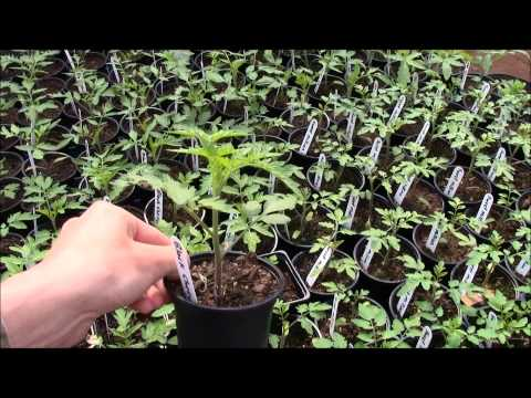 Transplanting tomatoes and peppers