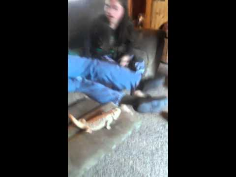 Bearded Dragon poops on Dad on Easter