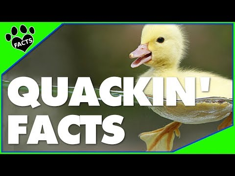 Animals Kids Love:10 Fun Facts About Ducks - Animal Facts