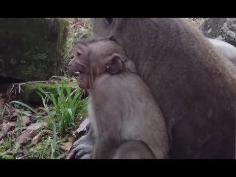 Talkative Monkey Sweet Pea Crying Seizure Because Angry Mommy Popeye