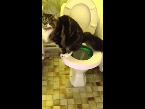 Cat with diarrhea on a toilet