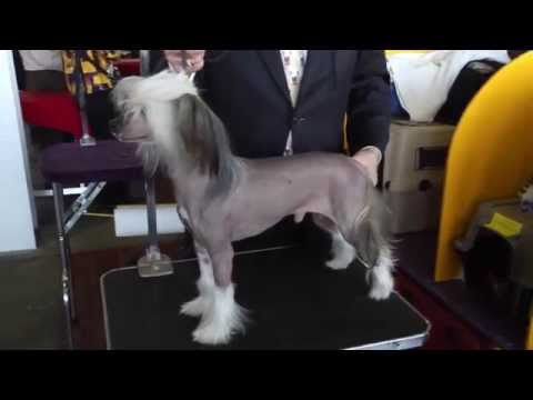 Chinese Crested: a Fascinating Hairless Dog Breed