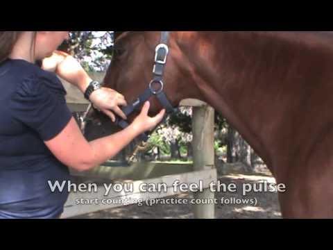 Taking the horses pulse