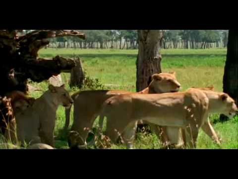 Lionesses on the hunt