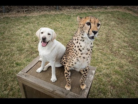 """The Zoos Gave Cheetahs Emotional """"support Dogs"""" Because They Are So Shy"""
