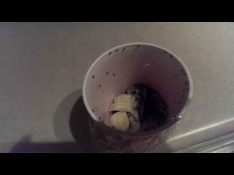 How to Kill and Trap Fruit Flies