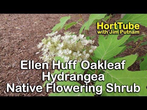 Planting an 'Ellen Huff' Oakleaf Hydrangea - Native Flowering Shrub