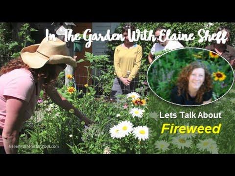 Green Path Herb School - Elaine Sheff Fireweed in the Herb Garden