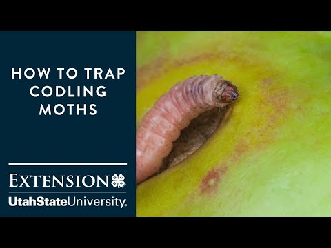 How to Trap Codling Moths