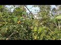 Pikat Burung Cabe Cabean Dan Kolibri