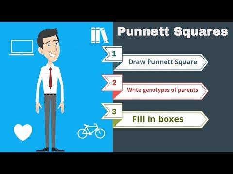 Punnett Squares the basics
