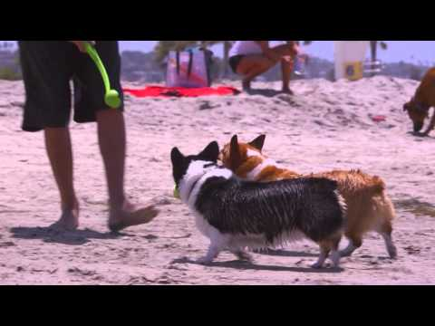 DOGTV Stimulation: 2 Corgis having fun