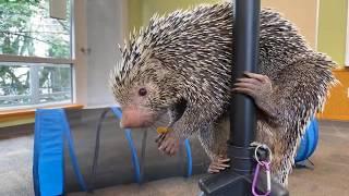 Home Safari - Brazilian Porcupine Rico - Cincinnati Zoo