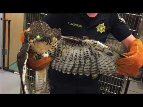 RED TAIL HAWK STUCK IN FENCE