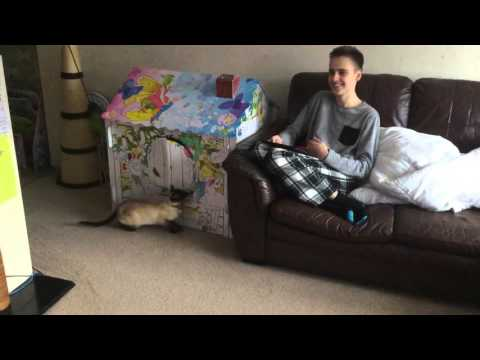 Siamese cat attacks