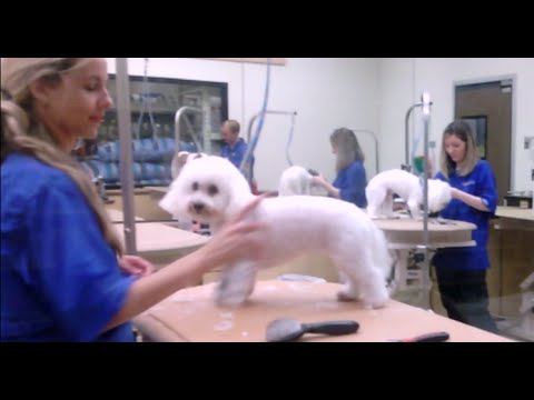 White Poodles being Groomed at Petsmart (How much price does cost dog groomed nails paws teeth ears