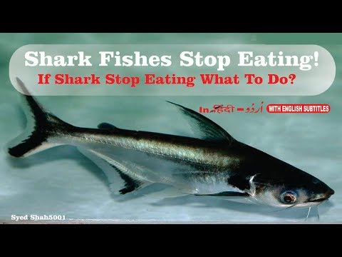 SHARK FISH stop eating how to trick them to eat food in Hindi Urdu English subtitles