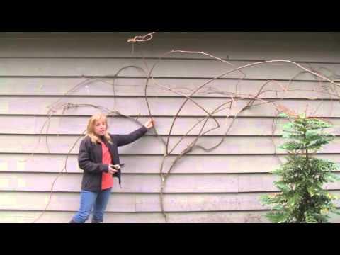 June 20/13 Senga's Vlog - How to Prune Kiwi Vines