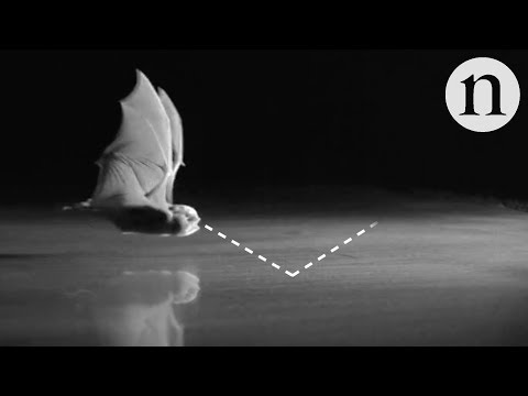 Why bats are blind to smooth surfaces