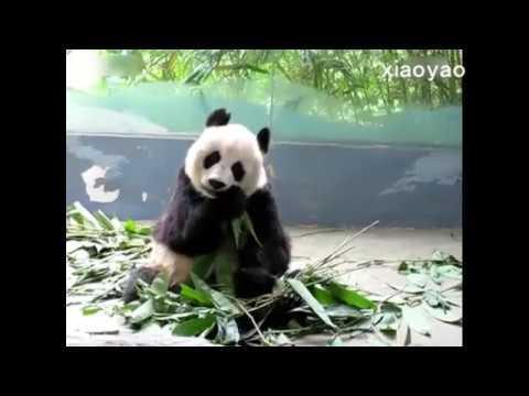Pandas eat bamboo   fun