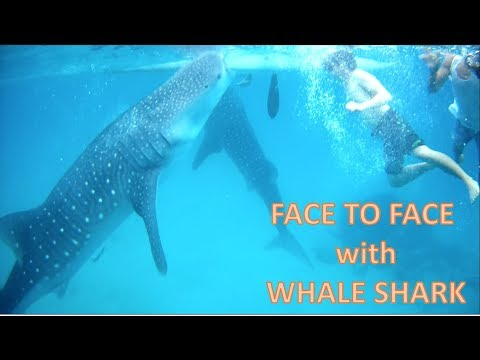 Swimming with Gentle Giants (Whale Sharks)