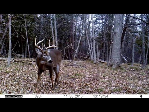 BIG Whitetail Deer Buck Stops by the Trail Camera
