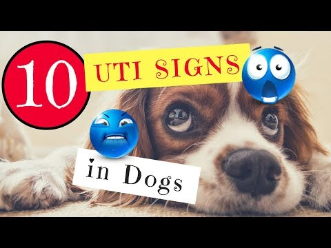 10 UTI Signs in Dogs